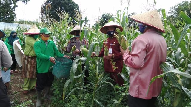 Kapolsek Kuantan Tengah  Panen Jagung Kampung Tangguh