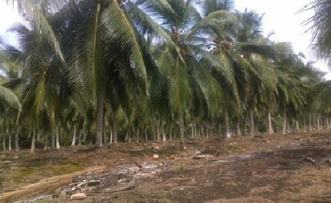 Inhil Dapat Jatah Peremajaan 200 Hektar Tanaman Kelapa