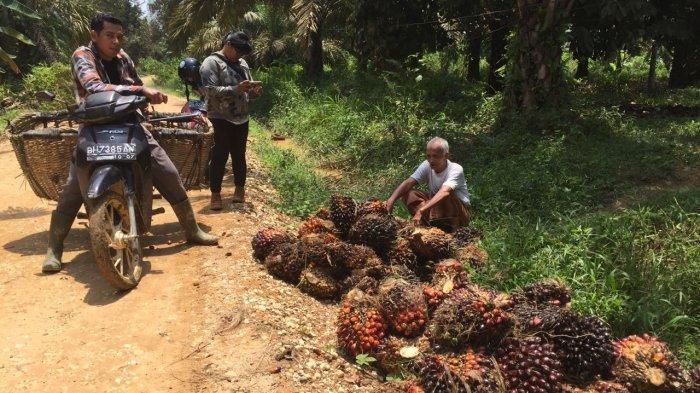 Harga Sawit di Daerah Tetangga Naik, Tapi di Tanjabtim Malah Stagnan